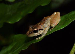 La rana Pristimantis reichlei; el anfibio más abundante